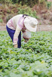 Rolnik zbiera truskawki Zdjęcia Stock