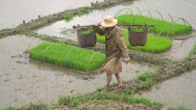 Rolnik znosi ryżowe flance w koszach zbiory wideo