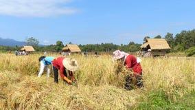 Rolnika żniwa ryż zbiory wideo