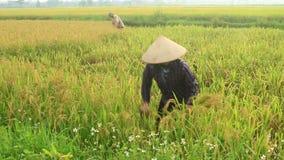 Rolnika żniwa ryż w polu zbiory