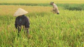 Rolnika żniwa ryż w polu zdjęcie wideo