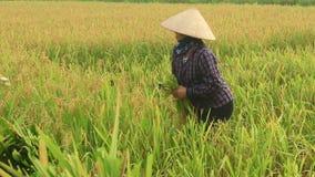 Rolnika żniwa ryż w polu zbiory wideo