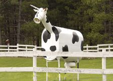 Rolnika ` ` Hybrydowa krowa zdjęcie royalty free