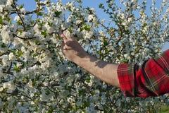 Rolnika lub agronoma macanie kwitnie wiśni gałąź Obraz Royalty Free