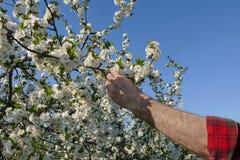 Rolnika lub agronoma macanie kwitnie wiśni gałąź Fotografia Stock