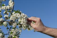 Rolnika lub agronoma macanie kwitnie wiśni gałąź Obraz Stock