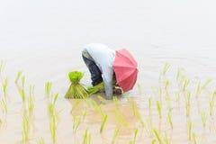 Rolnika przeszczepu ryż rozsady Fotografia Stock