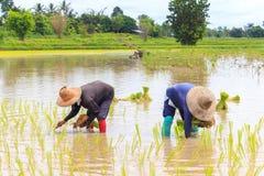 Rolnika przeszczepu ryż rozsady Obraz Royalty Free