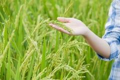 Rolnika ręki przedstawienie ryż Obraz Stock