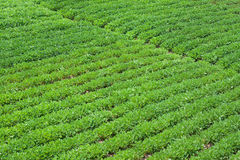 rolny arachid Fotografia Stock