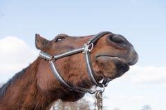 rolny koń Obrazy Royalty Free