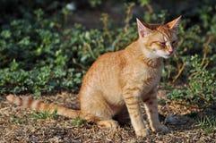 Rolny kot Zdjęcie Stock