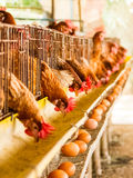Rolny kurczak Obraz Stock