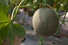 rolny melon Zdjęcia Royalty Free