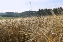Rolny pole z żyto upraw dorośnięciem Obraz Stock