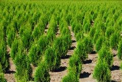 rolnych cedru drzewo. Zdjęcia Royalty Free