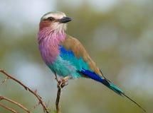 Rolo do lilac-breasted Fotografia de Stock