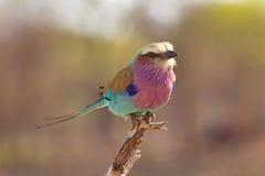 Rolo do lilac-breasted Fotos de Stock