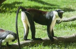 Roloway monkey Stock Photos