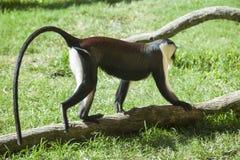 Roloway monkey Stock Image