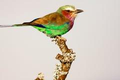 Rolownik na drzewie ptaki Fotografia Stock