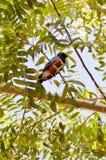 Rolownik z długimi pasemkami na drzewie Obraz Royalty Free