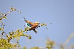Rolownik z długimi pasemkami na drzewie Fotografia Royalty Free