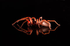 Roly poly spider  on black with reflection.  Royalty Free Stock Image