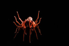 Roly poly spider on black with reflection.  Stock Photos