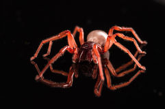 Roly poly spider  on black with reflection.  Stock Photography
