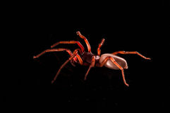 Roly poly spider  on black with reflection.  Stock Image