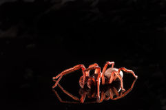 Roly poly spider isolated on black with reflection Royalty Free Stock Image
