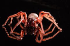 Roly poly spider isolated on black with reflection.  Royalty Free Stock Images