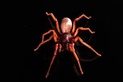 Roly poly spider isolated on black with reflection.  Stock Images