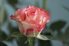 Romántico se levantó Fotografía de archivo libre de regalías