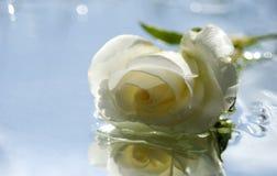 Romântico branco levantou-se imagem de stock royalty free