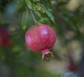 Romã consideravelmente cor-de-rosa Foto de Stock Royalty Free