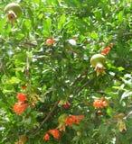 Romã, da flor ao fruto Foto de Stock