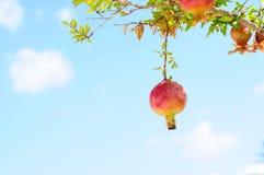 Romã do anão da planta de fruto Imagens de Stock