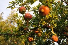 Romã em uma árvore em Calabria, Itália Fotos de Stock