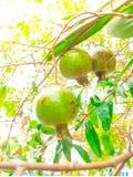A romã frutifica na árvore com luz do sol Imagens de Stock