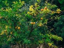 Romã madura vermelha na árvore Árvores de romã em Montenegr Fotos de Stock