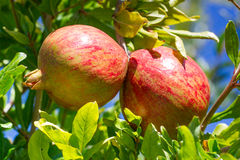 Romã maduras dobro no ramo no jardim Fotos de Stock Royalty Free