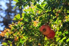 Romã maduras no ramo de árvore Fotos de Stock