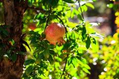 Romã maduras no ramo de árvore Fotografia de Stock Royalty Free