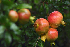 Romã maduras que crescem na árvore. Fotografia de Stock