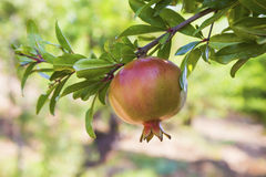 Romã na árvore Fotografia de Stock Royalty Free