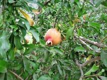 Romã na árvore imagens de stock royalty free