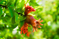 A romã na fase na árvore, verde do fruto e da flor sae Fotografia de Stock Royalty Free