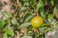 Romã no ramo de árvore Imagem de Stock Royalty Free